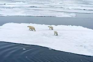Polar bears (Ursus maritimus), mother with two cubs movingの写真素材 [FYI02340063]