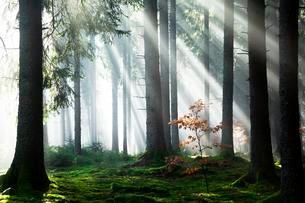 Rays of sunlight shining through trees in fog, spruceの写真素材 [FYI02340101]