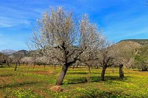 Blossoming almond trees on a plantation in Alaro, Majorcaの写真素材 [FYI02340104]