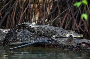 Saltwater crocodile (Crocodylus porosus) lying on treeの写真素材 [FYI02340109]