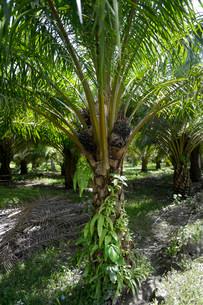Oil palm (Elaeis guineensis), Simeulue, Indonesia, Asiaの写真素材 [FYI02340118]