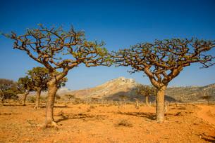 Frankincense trees (Boswellia elongata), Homhil protectedの写真素材 [FYI02340132]