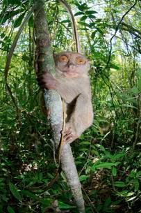 Philippine Tarsier (Carlito syrichta) in a tree, Boholの写真素材 [FYI02340143]