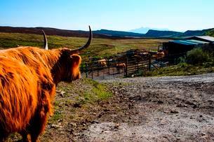 Scottish Highland cattle (Bos primigenius taurus) on a dirtの写真素材 [FYI02340155]