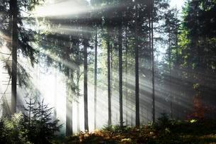 Rays of sunlight shining through trees in fog, spruceの写真素材 [FYI02340187]