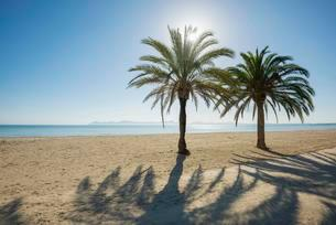 Beach with palm trees, Can Picafort, Alcudia Bay, Majorcaの写真素材 [FYI02340210]