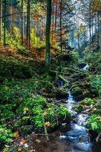 Small brook in an autumnal Beech forest (Fagus sylvatica)の写真素材 [FYI02340216]