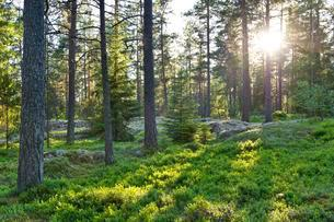 Pine forest, low sun, Rumskulla, Smaland, Sweden, Europeの写真素材 [FYI02340224]