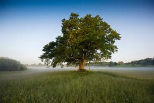 Morning atmosphere, Mozart Oak, Seeon, Chiemgau, Upperの写真素材 [FYI02340238]