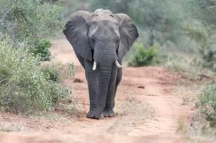 African bush elephant (Loxodonta africana) walking alongの写真素材 [FYI02340251]