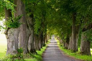 Kurfurstenallee, lime tree avenue, Marktoberdorf, Allgauの写真素材 [FYI02340253]