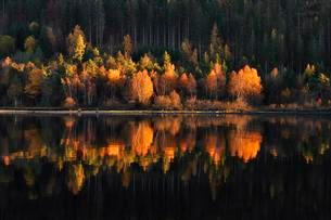 Colorful birch trees with autumn leaves reflected in theの写真素材 [FYI02340295]