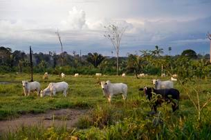Cattle on a pasture in a cleared area, Amazon rainforestの写真素材 [FYI02340311]
