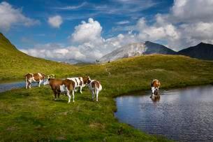 Cows by mountain lake on Hasellochscharte, Riedingtalの写真素材 [FYI02340314]