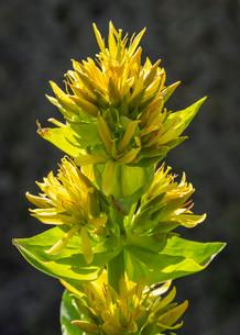 Great Yellow Gentian (Gentiana lutea), Catalonia, Spainの写真素材 [FYI02340320]