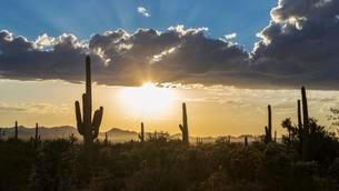 Landscape with Saguaro cacti (Carnegiea gigantea), sunsetの写真素材 [FYI02340336]
