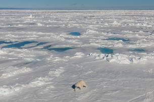 Polar bear (Ursus maritimus) walking on ice, Spitsbergenの写真素材 [FYI02340358]