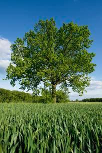 Solitary Pedunculate Oak (Quercus robur) in a field, Lowerの写真素材 [FYI02340370]