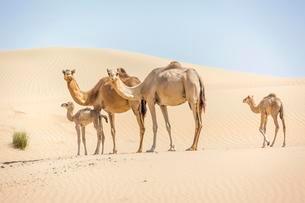 Dromedaries (Camelus dromedarius) with young in sand dunesの写真素材 [FYI02340372]