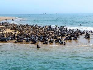 Brown fur seals (Arctocephalus pusillus), colony onの写真素材 [FYI02340405]