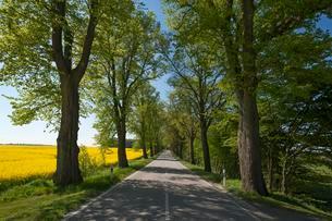 Largeleaf linden (Tilia platyphyllos) avenue next toの写真素材 [FYI02340408]