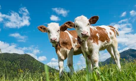 Two young calves (Bos primigenius taurus) standingの写真素材 [FYI02340421]