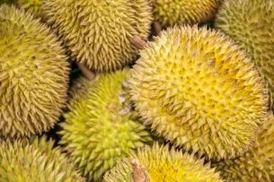 Durian fruit (Durio zibethinus) on the market, stinkyの写真素材 [FYI02340424]