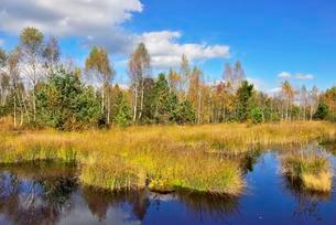 Moorland pond with lakeshore bulrushes (Schoenoplactusの写真素材 [FYI02340435]