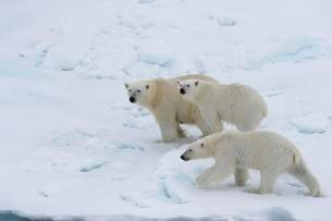 Polar bears (Ursus maritimus), mother with two cubs on iceの写真素材 [FYI02340445]