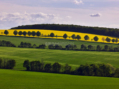 Hilly landscape with rapeseed fields, Flonheimの写真素材 [FYI02340503]