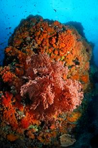 Coral colony with gorgonian (Melithaea sp.) And numerousの写真素材 [FYI02340505]