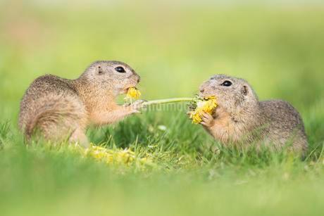 Ground squirrels (Spermophilus) fighting over flowerの写真素材 [FYI02340514]
