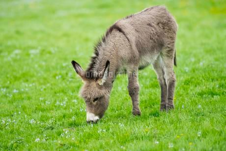 Domestic donkey (Equus asinus asinus), foal eating in aの写真素材 [FYI02340515]