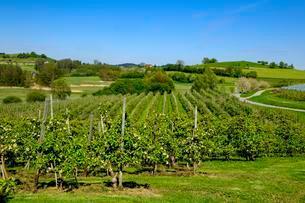 Fruit orchards, flowering apple trees, Taubenberg nearの写真素材 [FYI02340521]