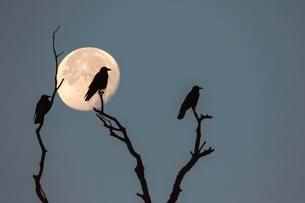 Three rooks (Corvus frugilegus) sitting on dead branches atの写真素材 [FYI02340525]