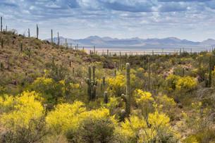 Mountainous landscape with Saguaro cactuses (Carnegieaの写真素材 [FYI02340526]