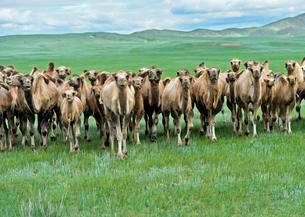 Herd of wild Bactrian camels (Camelus ferus) in Mongolianの写真素材 [FYI02340528]