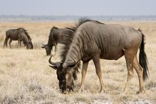 Blue wildebeest (Connochaetes taurinus), Etosha Nationalの写真素材 [FYI02340529]