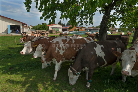 Dairy cows, Fleckvieh cattle, pasture, Bavaria, Germanyの写真素材 [FYI02340533]