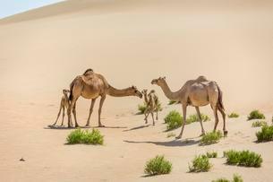 Dromedaries (Camelus dromedarius) with young in sand dunesの写真素材 [FYI02340537]
