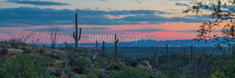 Cactus landscape with saguaro cacti (saguaro) at sunsetの写真素材 [FYI02340539]