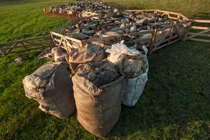 Sheep in the pen, bags of wool from already shorn sheepの写真素材 [FYI02340546]