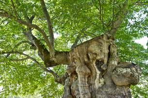 200 year old elm, model for the lemonade tree of Pippiの写真素材 [FYI02340552]