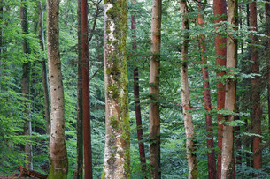 Mixed forest, Icking, Upper Bavaria, Bavaria, Germanyの写真素材 [FYI02340553]