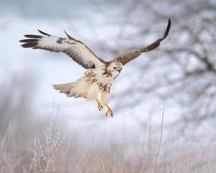 Common buzzard (Buteo buteo), light coloured morph flyingの写真素材 [FYI02340561]