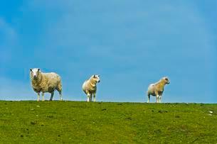 Three sheep in a pasture, Scotland, United Kingdom, Europeの写真素材 [FYI02340568]