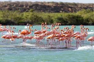 American Flamingoes (Phoenicopterus Ruber) in water, Puntaの写真素材 [FYI02340574]