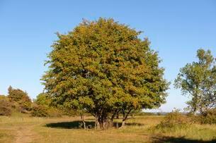 Rowan, mountain ash, rowan tree (Sorbus aucuparia) with redの写真素材 [FYI02340577]