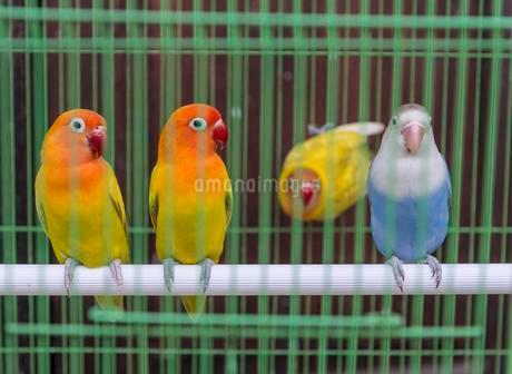 Parakeets in a cage, bird market, Yogyakarta, Javaの写真素材 [FYI02340581]