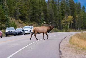 Wapiti, Elk (Cervus canadensis) crosses road, deer, Banffの写真素材 [FYI02340582]